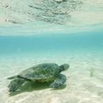 Awesome snorkeling, Hawaiian Sea Turtle
