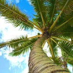 Palm trees sway in the trade winds