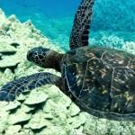 Tunnels Reef is home to many Hawaiian Sea Turtle/Honu